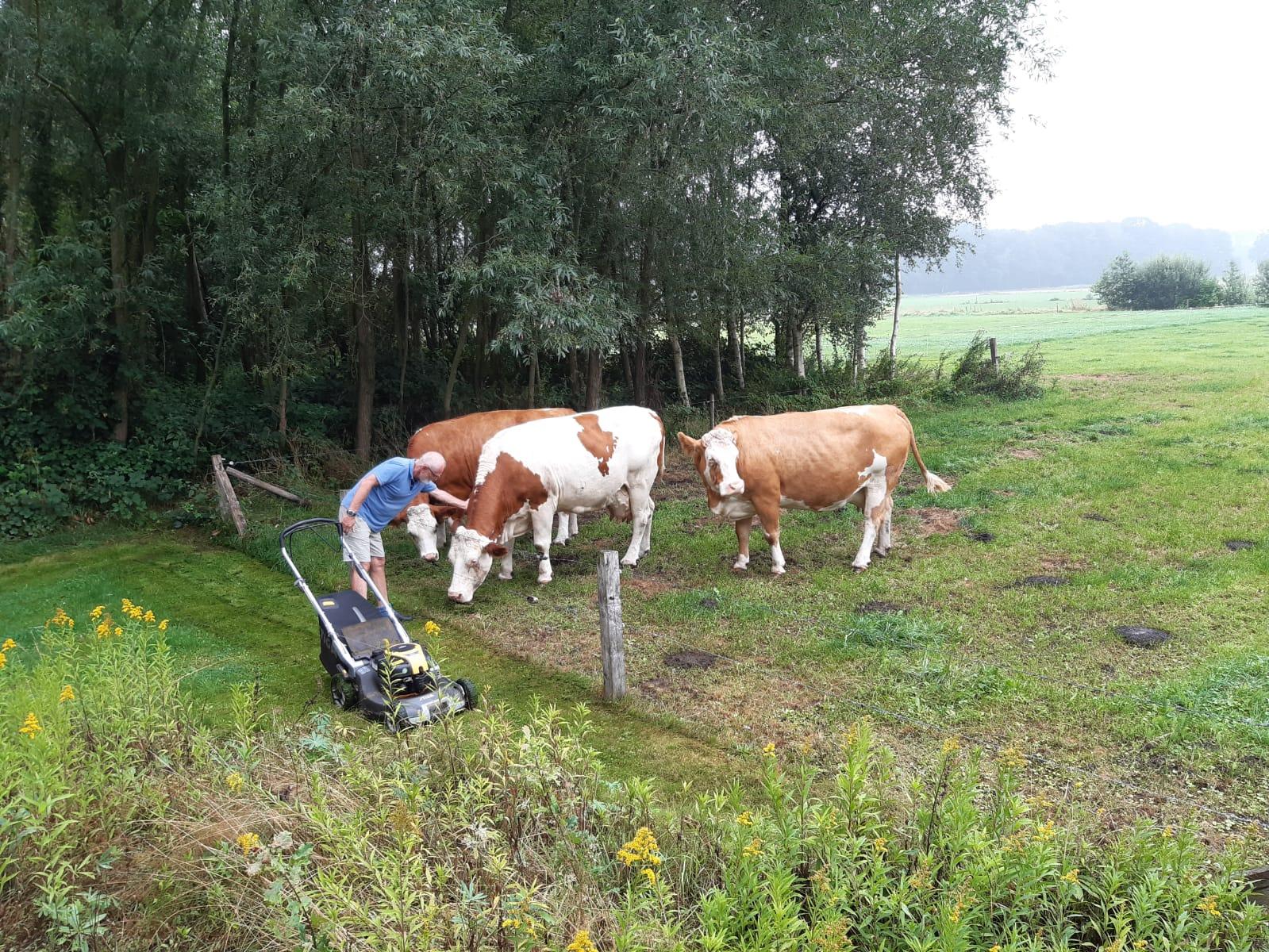 Koeien aaien